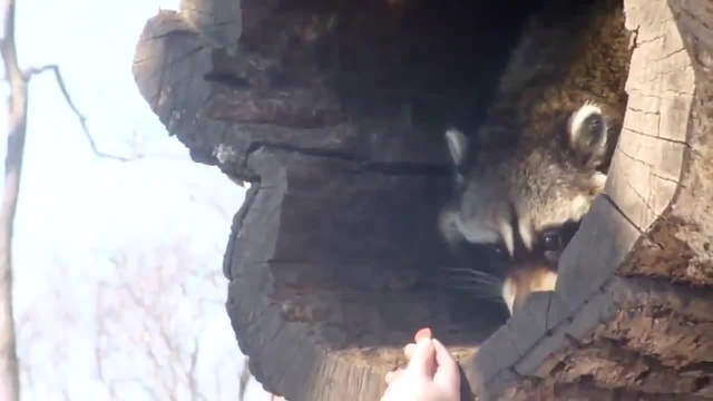 Raccoon Is Pleased