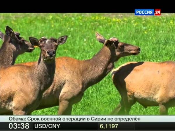 Алтайский благородный олень - Марал. Польза панта.