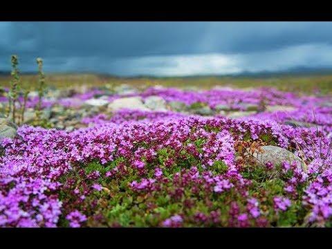 Чабрец или Богородская трава Лечебные травы
