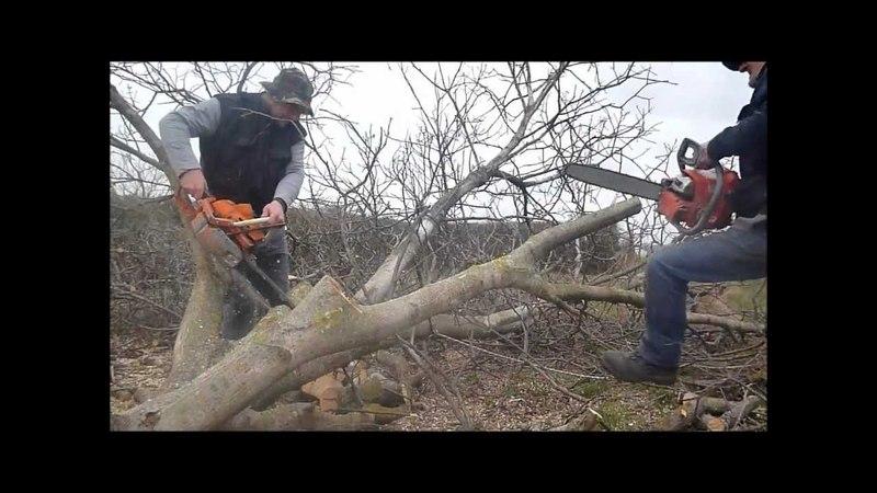 Walnut tree felling with ZID TAJGA 245 OLEO - MAC 937 chainsaw / láncfűrész