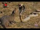 Animal Real Fight - Mongoose vs Cobra | ШОК ЖЕСТЬ БИТВА мангуст vs кобры ЭТО НАДО ВИДЕТЬ ! *SV HD*