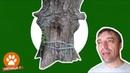 ✅ ПОТРЯСАЮЩЕ Вросшие в дерево ЭТО ДЕРЕВО до сих пор ЖИВОЕ