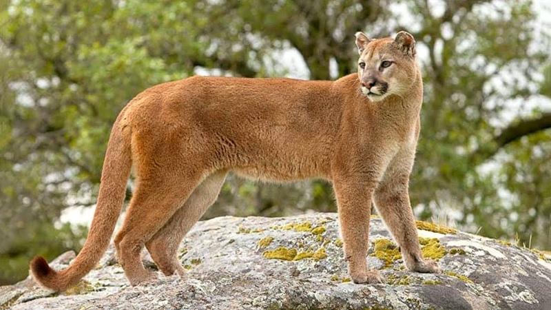 Львы Африки и горные львы Калифорнии (США) и Канады д.ф. Пума, кугуар, горный лев.