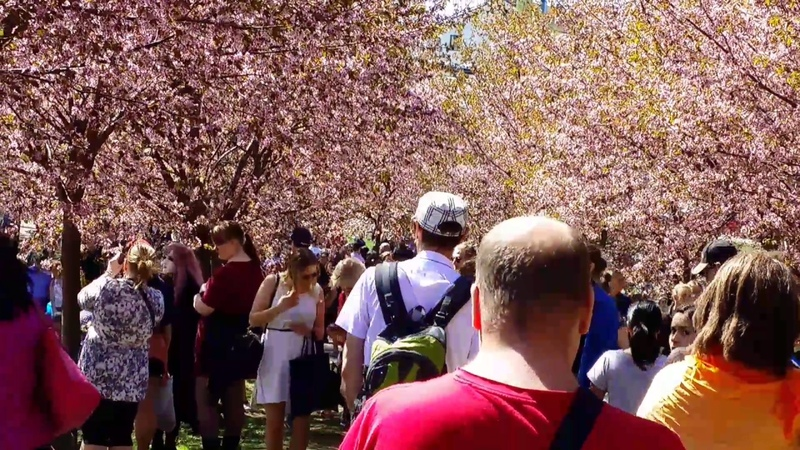 Праздник Ханами любование цветками сакуры Хельсинки 21 5 2017 Suomi Finland сакура