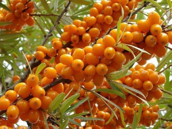 Лечение облепихой: народные рецепты Среди лекарственных растений облепиха занимает одно из первых по значимости мест - её даже называют «оранжевой королевой», имея в виду её выраженные целебные