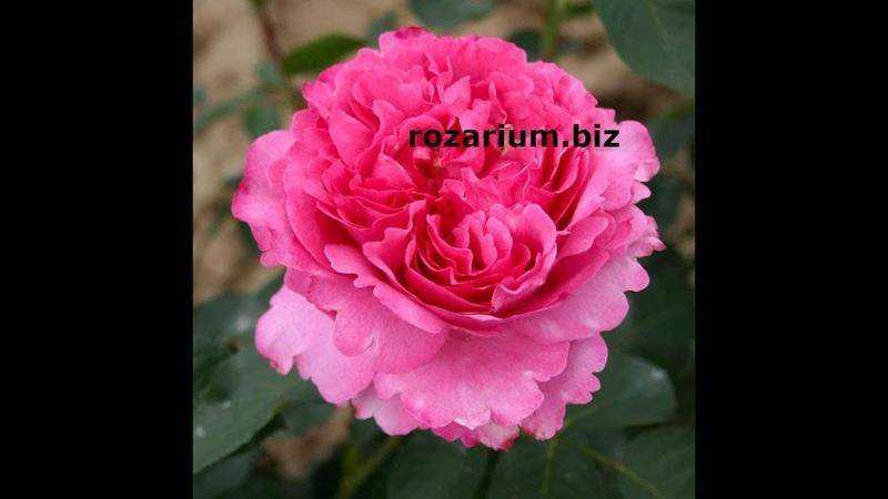 Осенние работы в розарии, питомник роз Полины Козловой