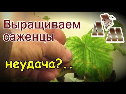 🍇 Выращивание саженцев винограда в емкостях - 2. Как относиться к неудачам?