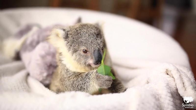 Эта маленькая коала больше похожа на плюшевую игрушку