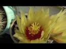 Цветёт кактус летом в июне на подоконнике в цветочном горшек