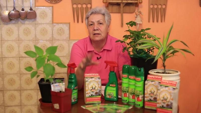 Пиретрум - средство для борьбы с насекомыми-вредителями