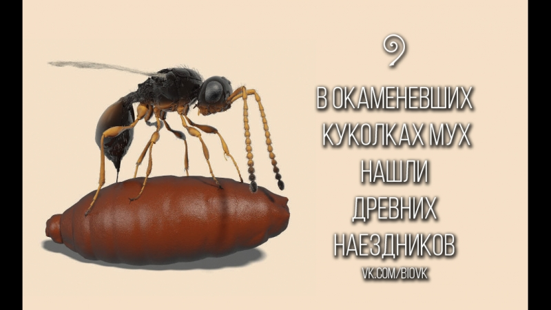 Fossil_parasitoid_wasp_inside_a_30_million-year-old_fly_pupa