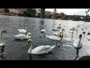 Пражские лебеди и Карлов мост 😍