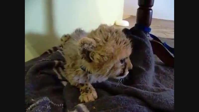 Cute rescued baby cheetah mewing