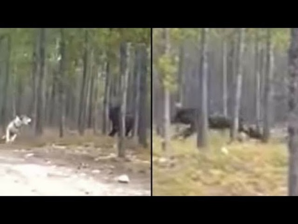 Is This Footage Of The Biggest Wolf Ever Or Is It Something Else