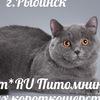 Yudzhim*RU Питомник британских кошек г.Рыбинск