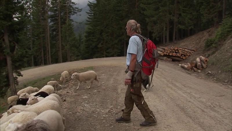 Hütehunde собака охраняет стадо пасущихся овец