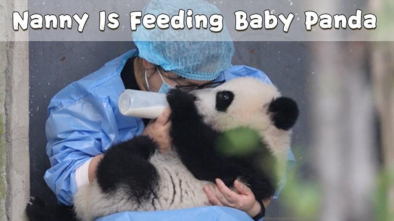 Nanny Is Feeding Baby Panda iPanda