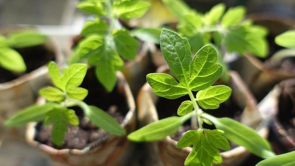 Особенности высадки рассады помидоров в открытый грунт