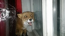 Лиса лает на собаку за окном The fox barks at the dog outside