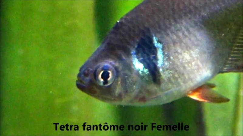 Hyphessobrycon megalopterus - Eigenmann, 1915 HD - T. Fantôme Noir - Aqua Porte Dorée - 05-2014 (1).mp4