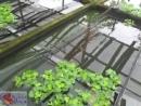 ферма пецилий и меченосцев в Малайзии