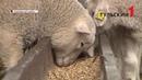 В Тульской области выращивают овец редкой ташлинской породы