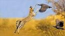 Удивительные дикие кошки, в том числе Каракалы, Сервалы и Леопарды ловят птиц на лету _ full-hd.mp4
