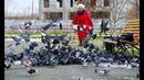 Покормите сизых голубей