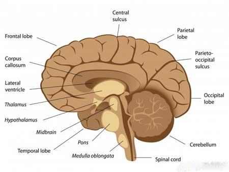 Некоторые виды тремора могут быть вызваны повреждением или повреждением мозжечка.