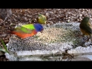 Animal Planet - Painted Bunting Birds - Most Beautiful Birds In The World