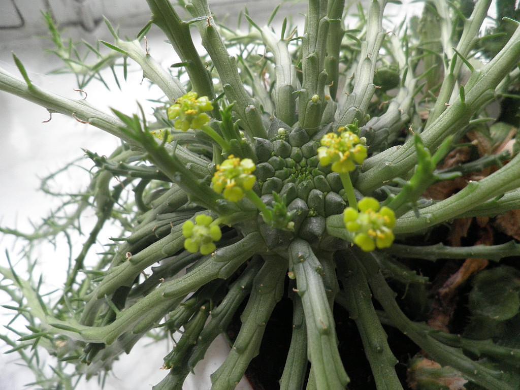Так цветет Euphorbia flanaganii www.cat-cat-cat.ru , Эуфорбия Голова медузы горгоны
