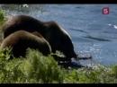 Сериал Мир природы 7 серия Жизнь рядо с гризли 2
