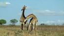 Nat Geo Wild Африканская саванна 1080р