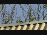 Дятел стучит по крыше как будто стреляют из пулемета