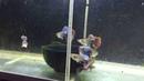 гуппи -- -- -- Dumbo Mosaic Guppy Female