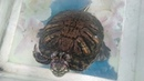 Кормление красноухой черепахи. Рацион правильного питания черепах!
