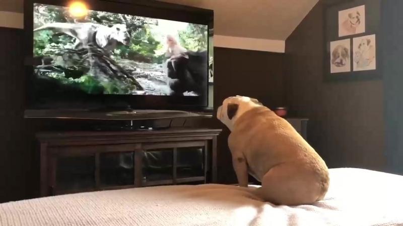 """Бульдог смотрит фильм """"Кинг-Конг"""" Собака лает на зверей и защищает актрису фильма Кинг-Конг."""