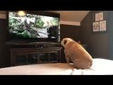 """Бульдог смотрит фильм """"Кинг-Конг"""" Собака  лает на зверей и защищает актрису фильма"""