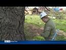специалисты изучают старые деревья ИРЫСТОН