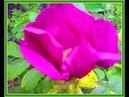Кислица цветет Шиповник