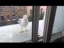 Дружелюбно-Нагленькая Питерская чайка