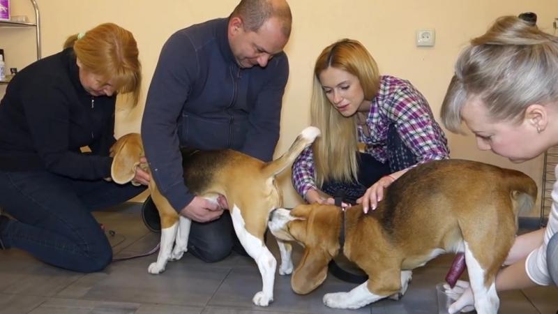 Искусственное оплодотворение собак Бигли Честер и Тина Вязка собак через катетер