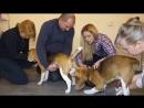 Искусственное оплодотворение собак. Бигли Честер и Тина. Вязка собак через катетер