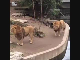 Если бы я был львом