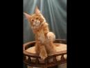 Canis Majoris Ramses 3 месяца
