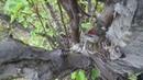 Чечетка (лат. Carduelis flammea) строит гнездо