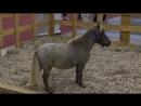 Лошадь размером с собаку и другие чудеса XX конной выставки «Иппосфера». ФАН-ТВ