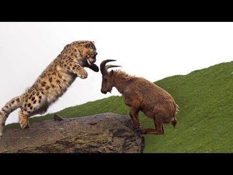 惊喜的战斗! 山山羊试图逃离雪豹狩猎, 但失败