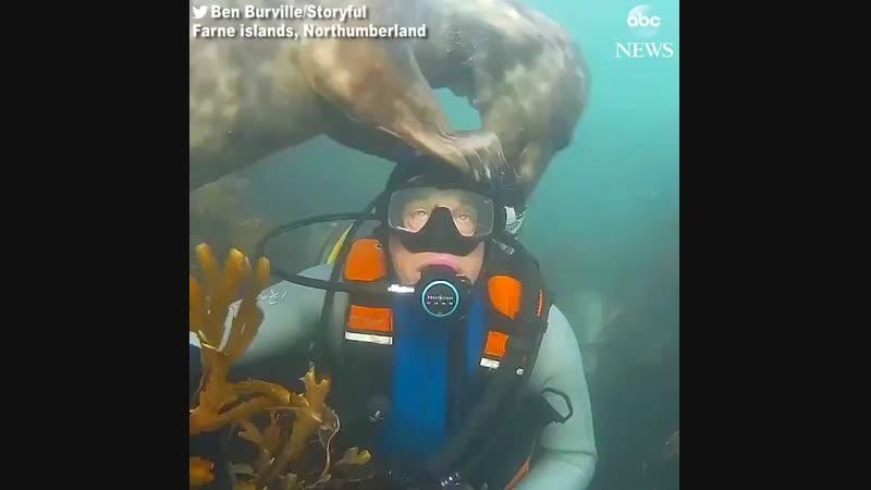 Тюлень подружился с дайвером