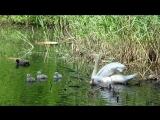 Гуляю в парке ...разговариваю о жизни и любуюсь малышами в семье лебедей. Нидерланды.